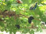 Grapes in conservatory